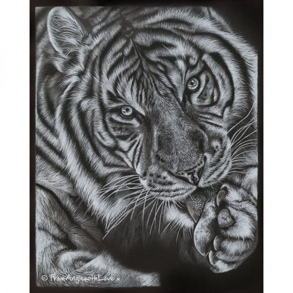 Mohan - Coloured pencil Tiger portrait by wildlife artist Angie