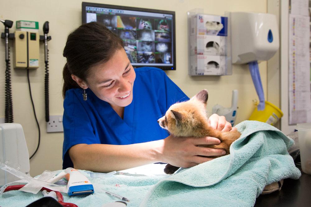 Wildlife Aid Foundation vet treating a fox cub