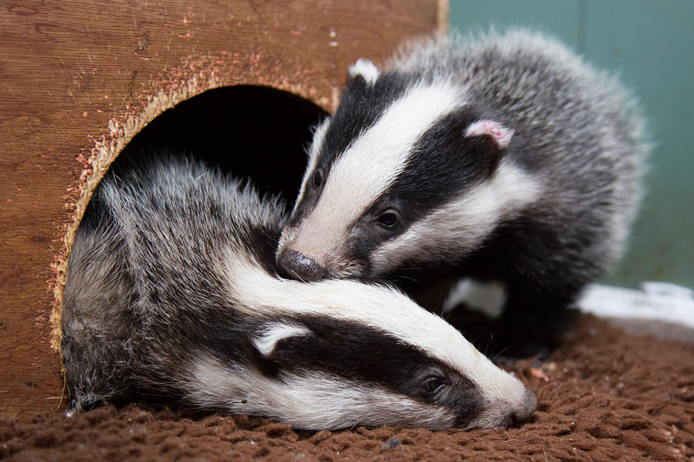 Orphaned badger cubs rescued by Wildlife Aid Foundation