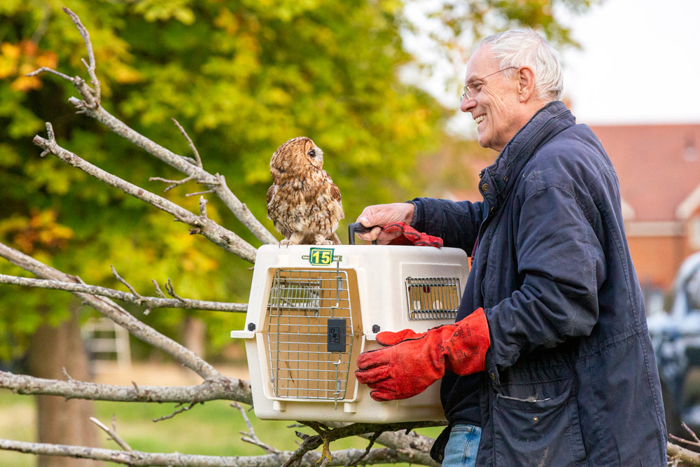 Tawny Owl being released by Wildlife Aid Foundation