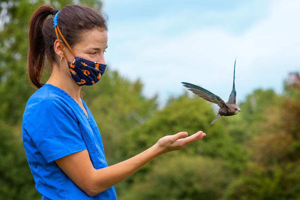 Wildlife Aid Foundation vet releasing a swiftb