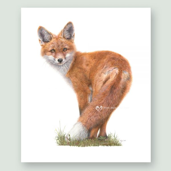 Brief Encounter - Red Fox Portrait by Pencil Artist Angie x